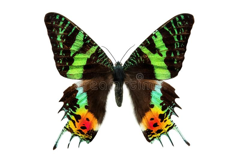 Butterfly Sunset Moth Urania ripheus Madagascar isolated on white. Background royalty free stock photos