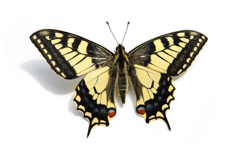 Butterfly Swallowtail (Papilio machaon). On a white background, isolated royalty free stock image