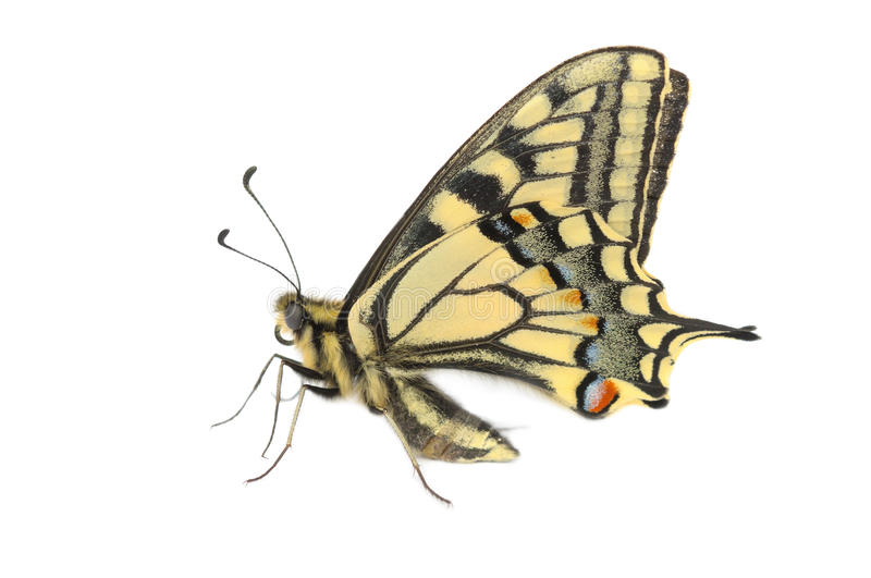 Butterfly Swallowtail (Papilio machaon). On a white background, isolated stock images