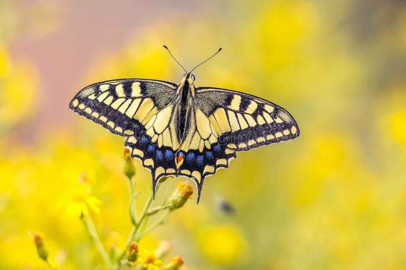 Butterfly Swallowtail on yellow background royalty free stock photography