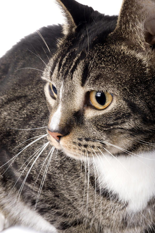 Download Butterfly Tabby Cat Portrait 09-01 Stock Image - Image: 10790211