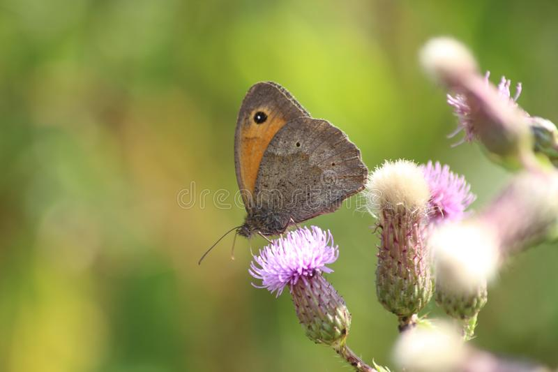 Butterfly on a thistle stock photos