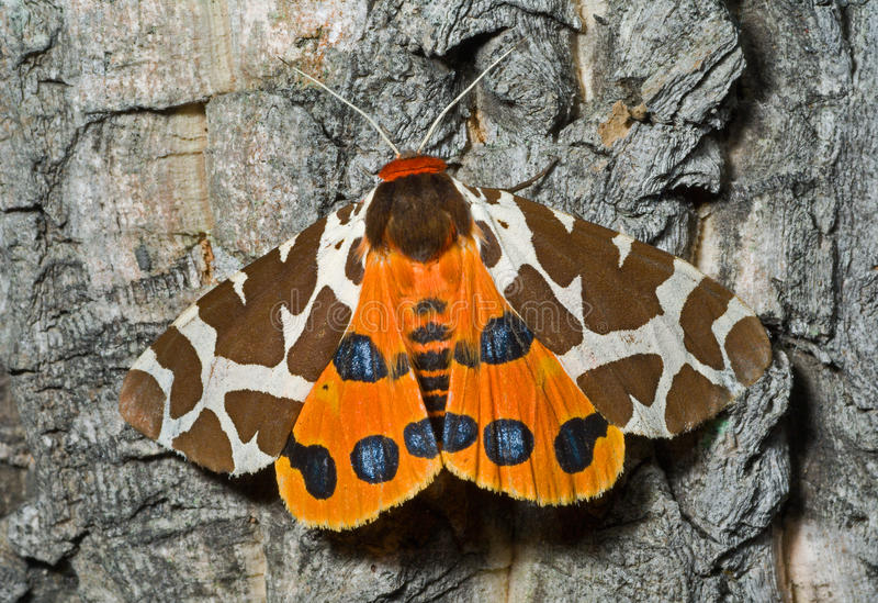 Butterfly tiger-moth (Arctia caja) 5 stock photo