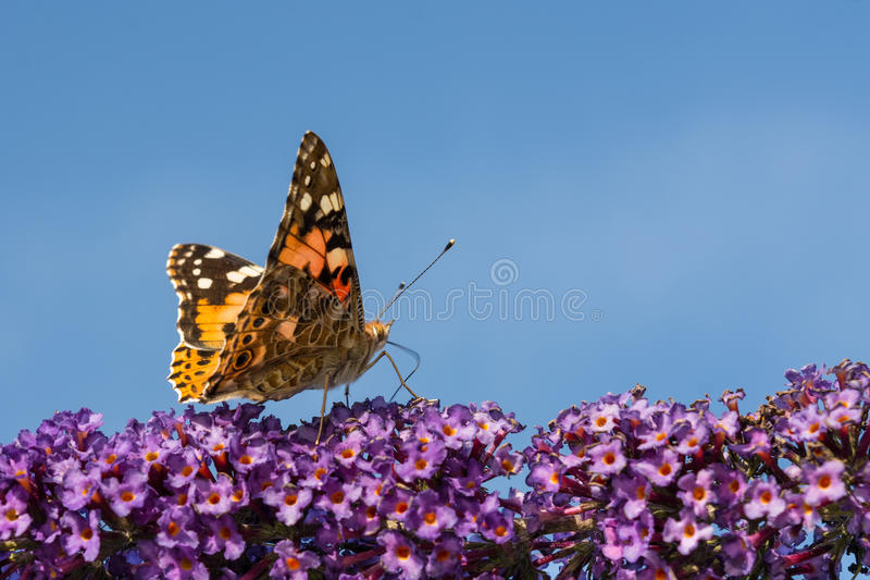 Butterfly at the start. Vanessa cardui. The colorful butterfly Painted Lady on purple flowers with blue sky stock photos