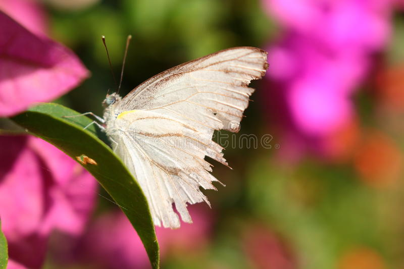 Butterfly with torn wings. A butterfly with its torn wings with flowers background. Sometime, life is not perfect even you have two wings royalty free stock photography