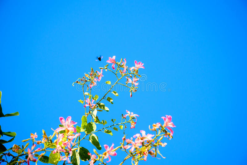 Butterfly Tree, Orchid Tree, Purple Bauhinia. In the winter royalty free stock photos