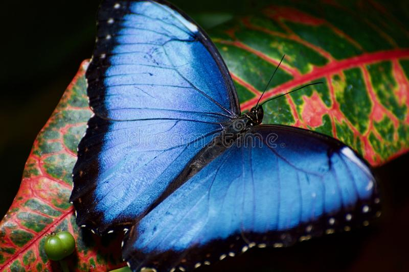A butterfly on a tropical leaf royalty free stock photos