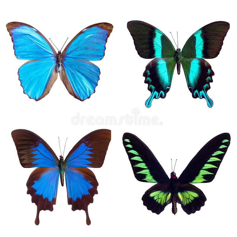 Butterfly tropical set: Morpho menelaus; Papilio blumei; Papilio ulysses; Trogonoptera brooklana royalty free stock photo