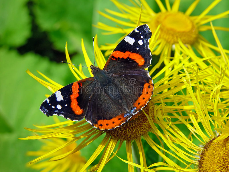 Butterfly Vanessa atalanta. stock photography