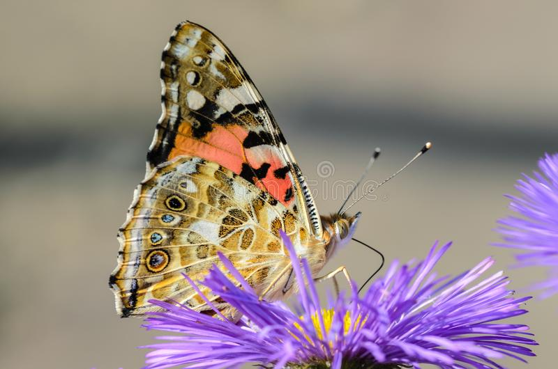 Butterfly vanessa cardui collects nectar from flower. Butterfly vanessa cardui collects nectar from a flower of erigeron royalty free stock photos