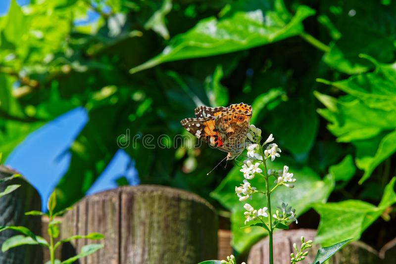 Painted lady butterfly on the white flower of the privet plant royalty free stock images