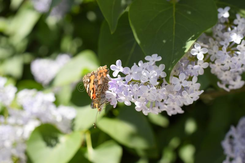 Butterfly Vanessa cardui on lilac flowers. Pollination blooming lilacs royalty free stock photos