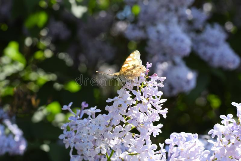Butterfly Vanessa cardui on lilac flowers. Pollination blooming lilacs royalty free stock photo