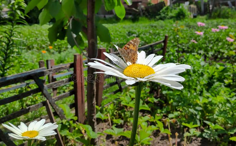 Butterfly vanessa cardui on chamomile in garden stock photos