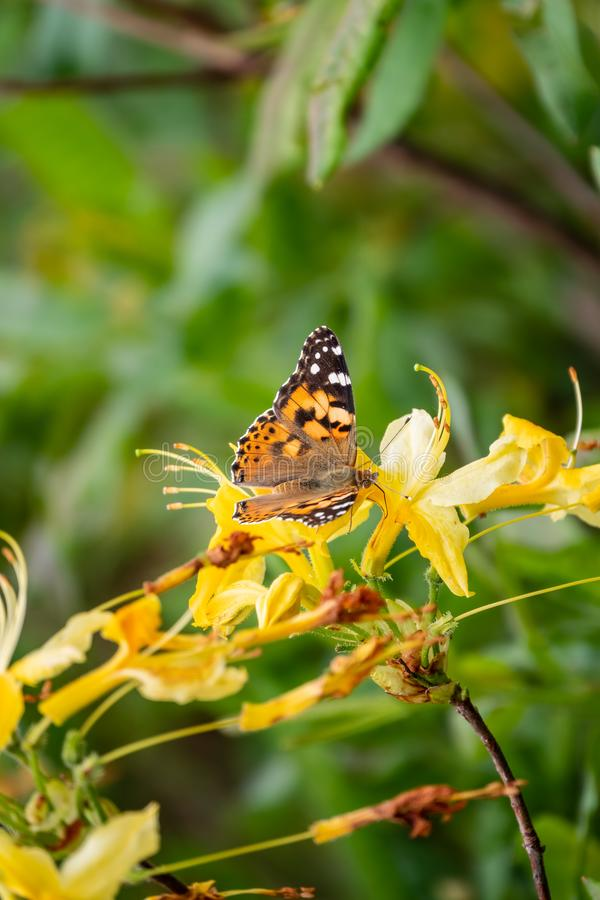 Butterfly Vanessa cardui sits on a yellow flower. Butterfly sits on jasmine yellow flowers stock photography