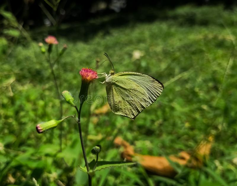 Butterfly with very detailed wings that mimic a green leaf over a thistle flower. Common brimstone, Gonepteryx rhamni royalty free stock image