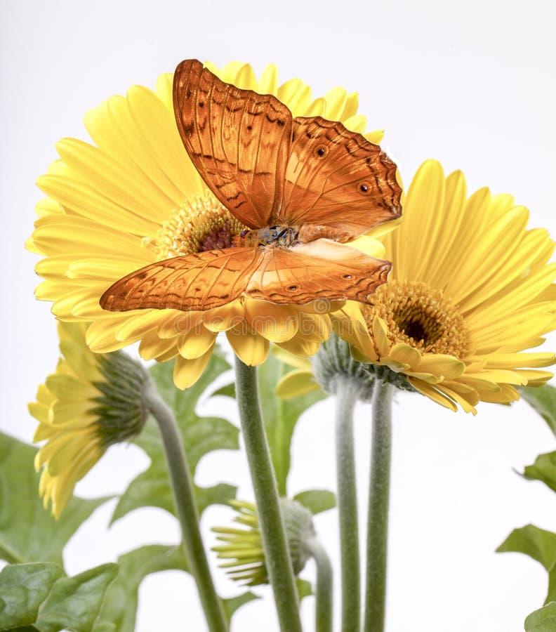 Butterfly Vindula Erota fotografie stock libere da diritti