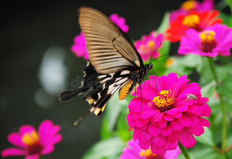 Butterfly Vs Spider. Sudden meet between two insects royalty free stock photography