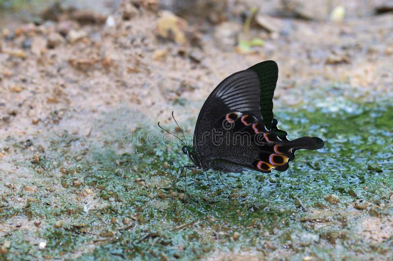 A butterfly on the wet ground. A butterfly (Paris Peacock) on the wet ground stock photography
