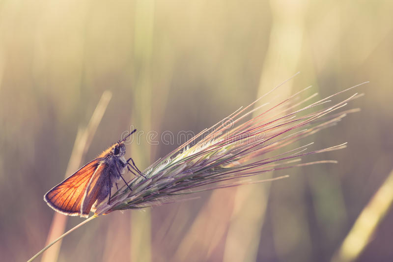 Butterfly on a wheat stock images