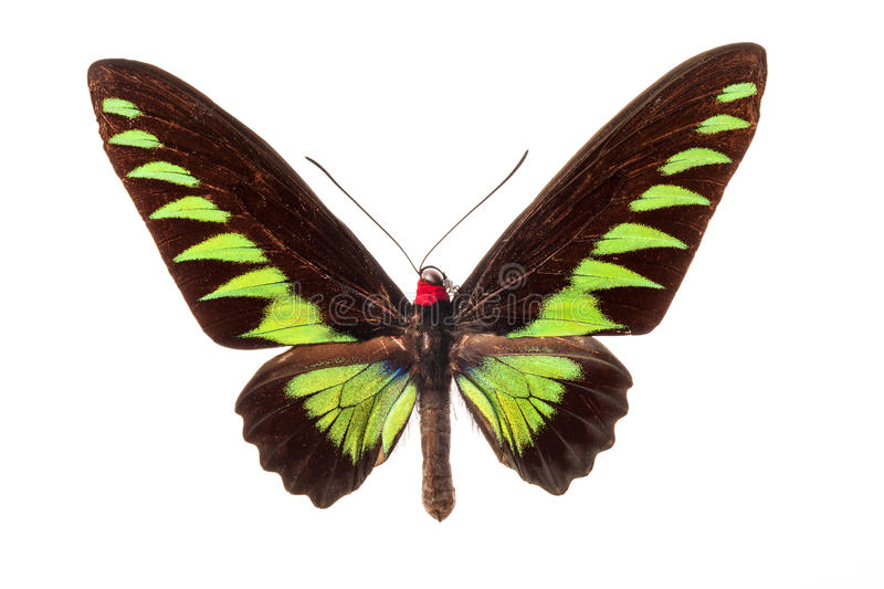 Download Butterfly on white stock image. Image of wing, bright - 25478859