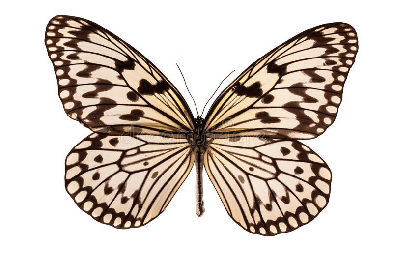 Butterfly on white stock photography
