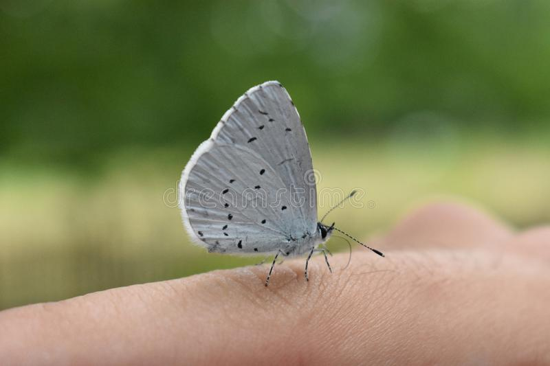 Butterfly in white with black dots stock images