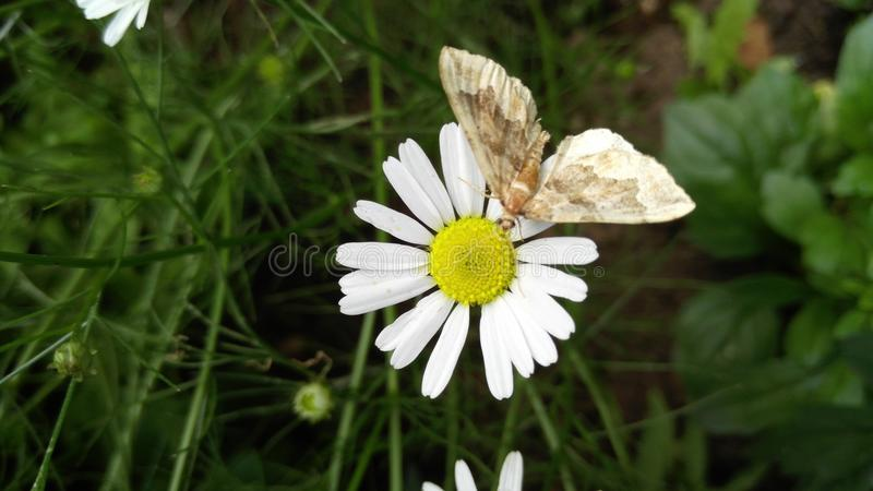 Butterfly on white daisy with a yellow heart, background stock photography