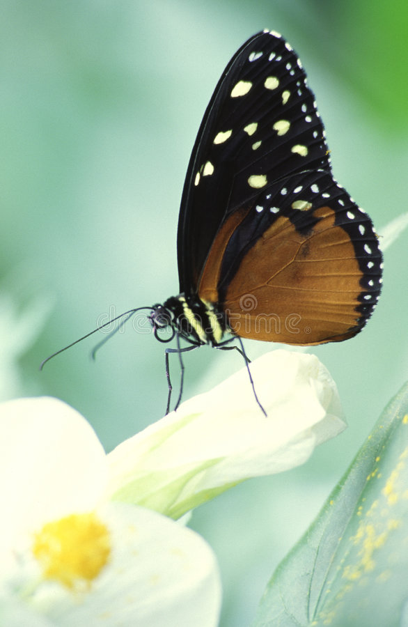 Butterfly on a white flower royalty free stock photography