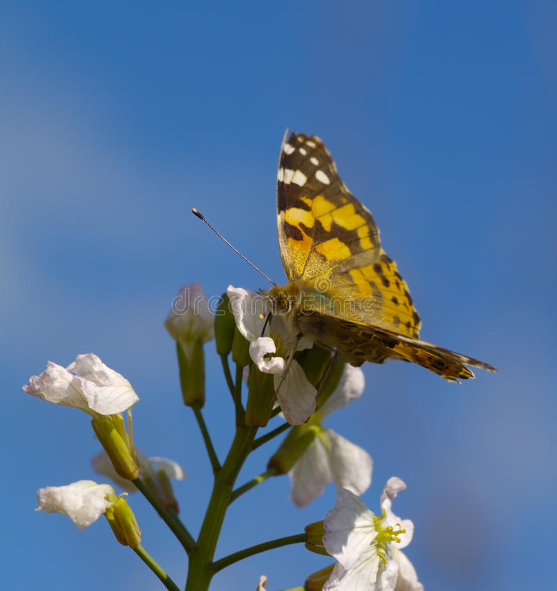 The butterfly on a white flower against blue sky royalty free stock photography