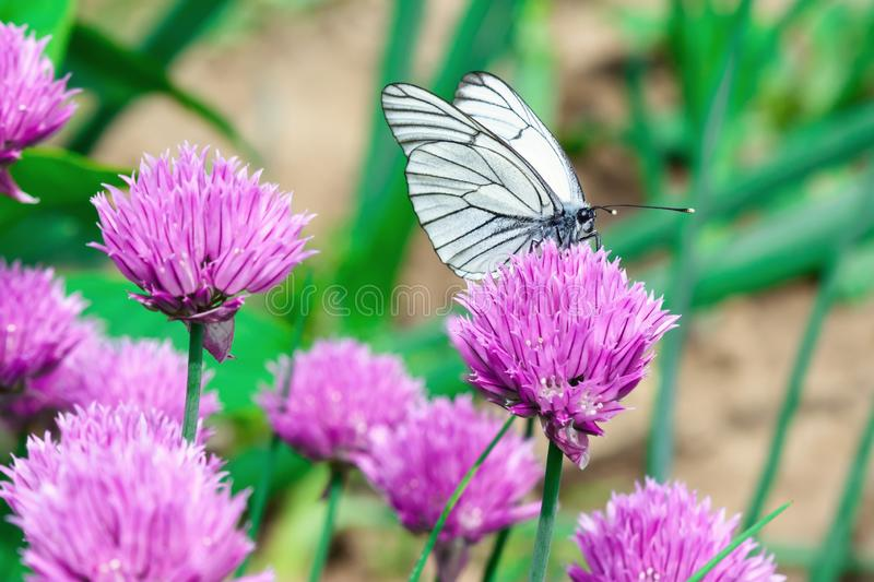 A butterfly with white wings sits on a pink flower. Photo close up. Bright spring card stock photography