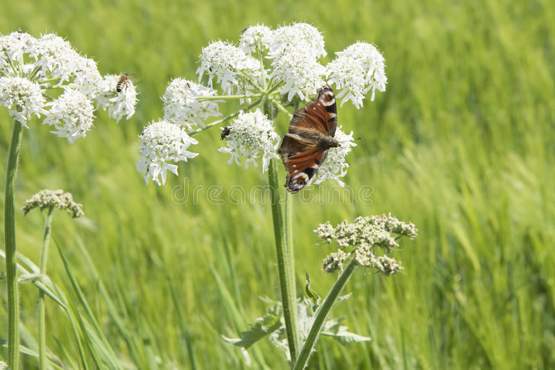 Butterfly on wild carrot umbel stock images
