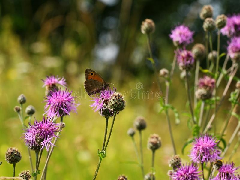 Butterfly and wild flowers royalty free stock images