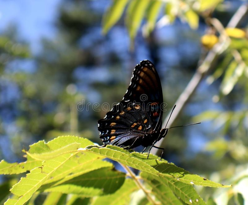 Butterfly on a Wild Grapevine royalty free stock photo