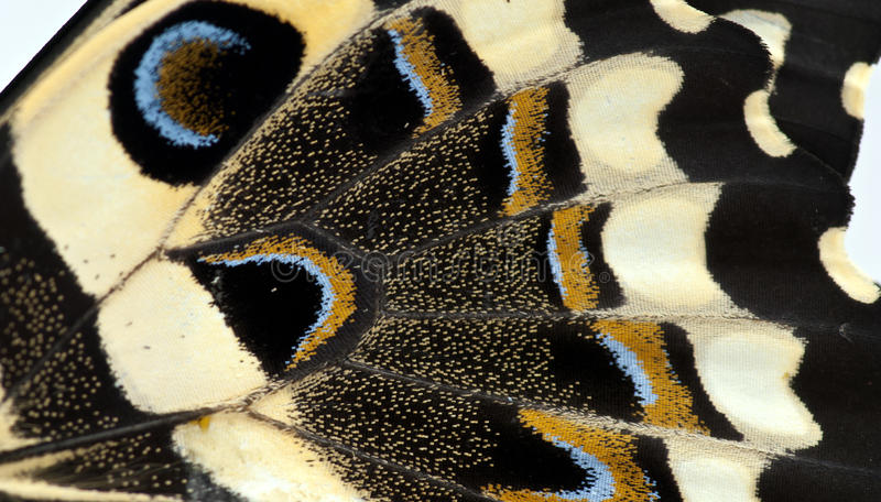 Butterfly Wing. A close up of a citrus swallowtail butterfly wing stock images