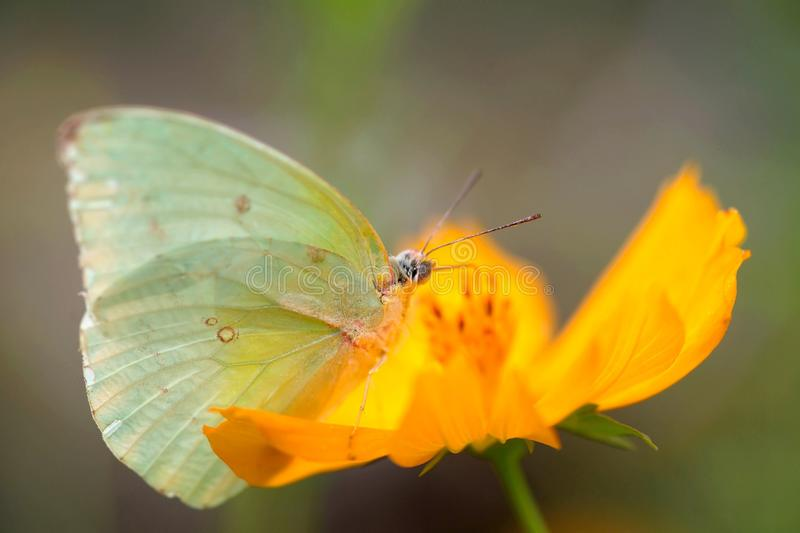 Butterfly and Yellow Cosmos stock photo