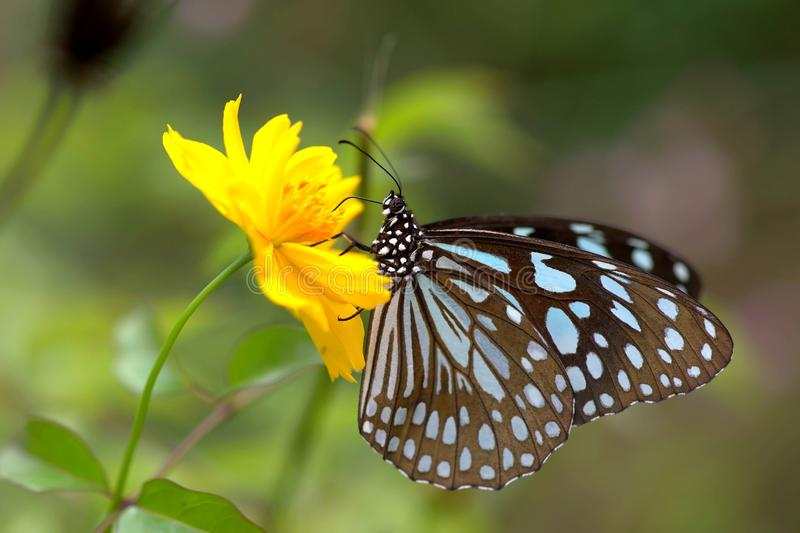 Butterfly and Yellow Cosmos royalty free stock images
