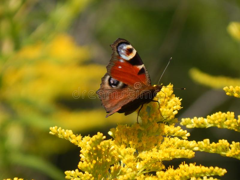 Butterfly on a yellow flower.  stock photo