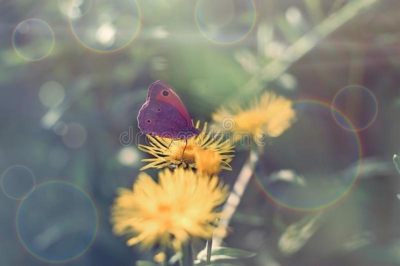 Butterfly on yellow flower, purple butterfly colecting polen and nectar stock image