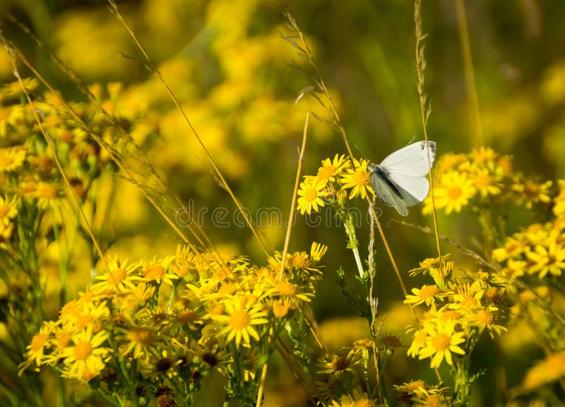 Butterfly among yellow flowers royalty free stock images