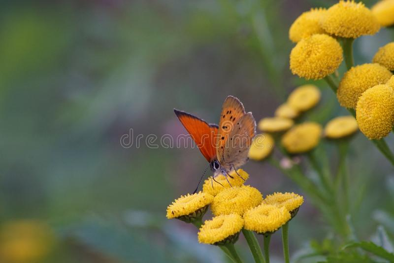 Butterfly on yellow flowers stock photos
