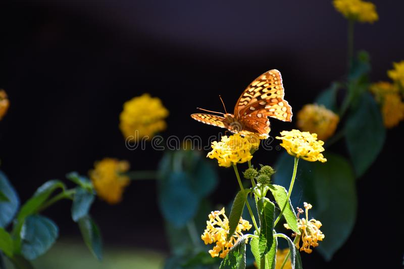 Butterfly on yellow flowers royalty free stock photos