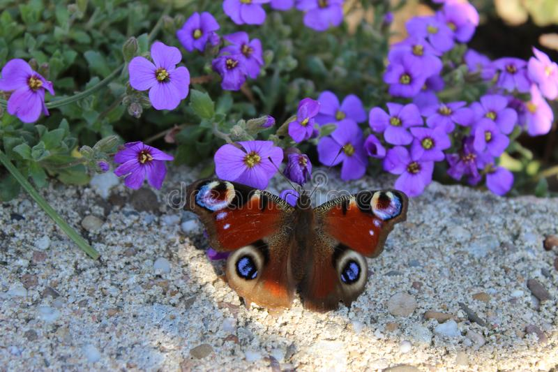 Butterfly you little thing what are you looking for? royalty free stock image