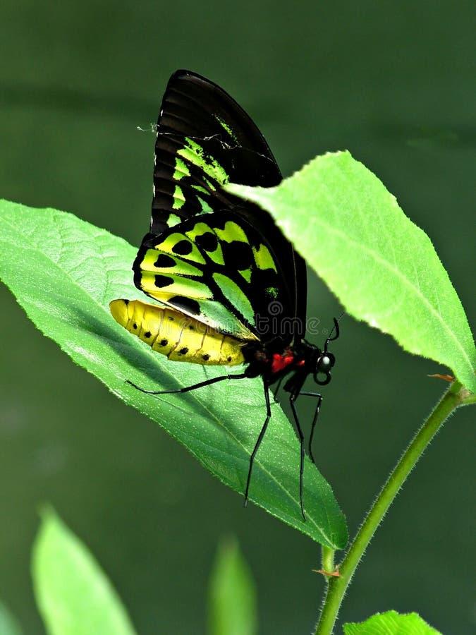 butterfly1 免版税库存照片