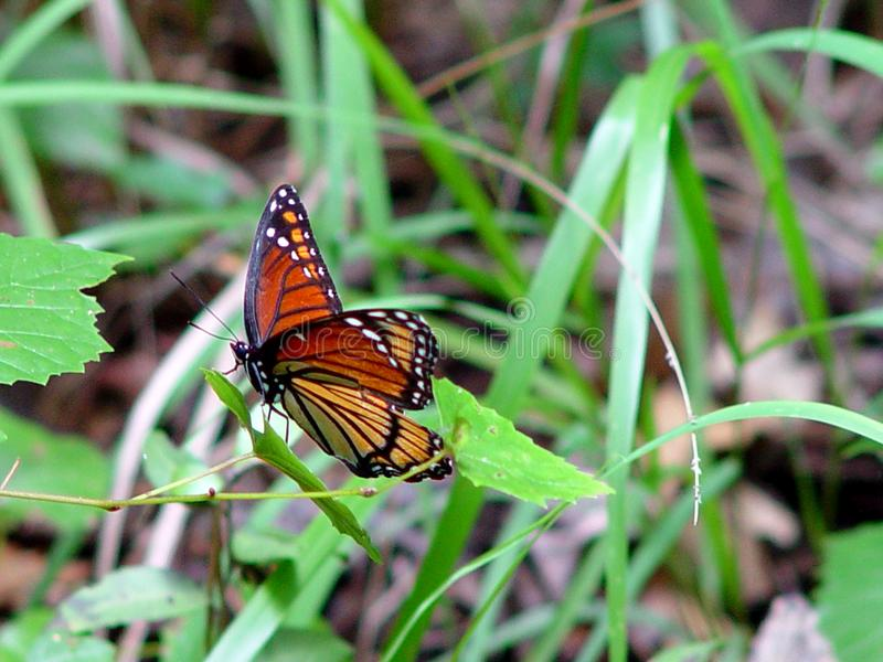 Butterfly2 Stock Images