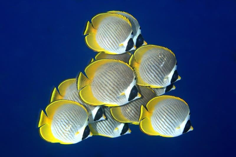 butterflyfish学校 免版税图库摄影