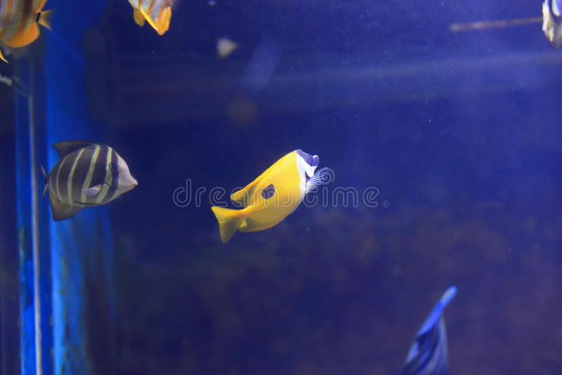 butterflyfish长头黄色 库存照片