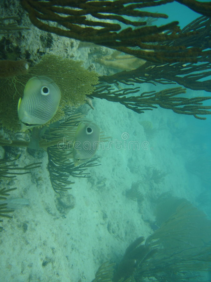 butterflyfish καραϊβικά ύδατα του Πο&up στοκ εικόνες