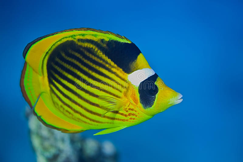 butterflyfish ρακούν στοκ φωτογραφία