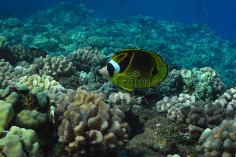 butterflyfish 免版税图库摄影